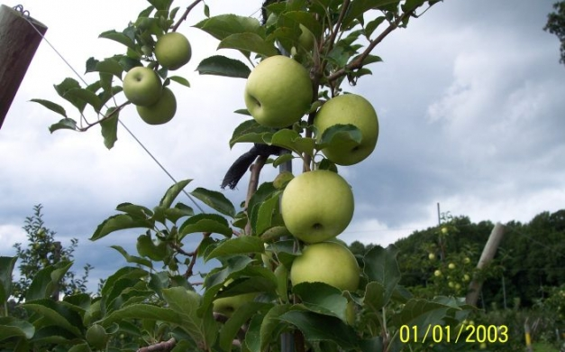 fifer and longview dwarf apple trees 1