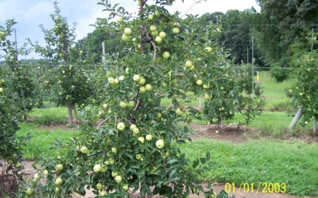 fifer and longview dwarf apple trees 2